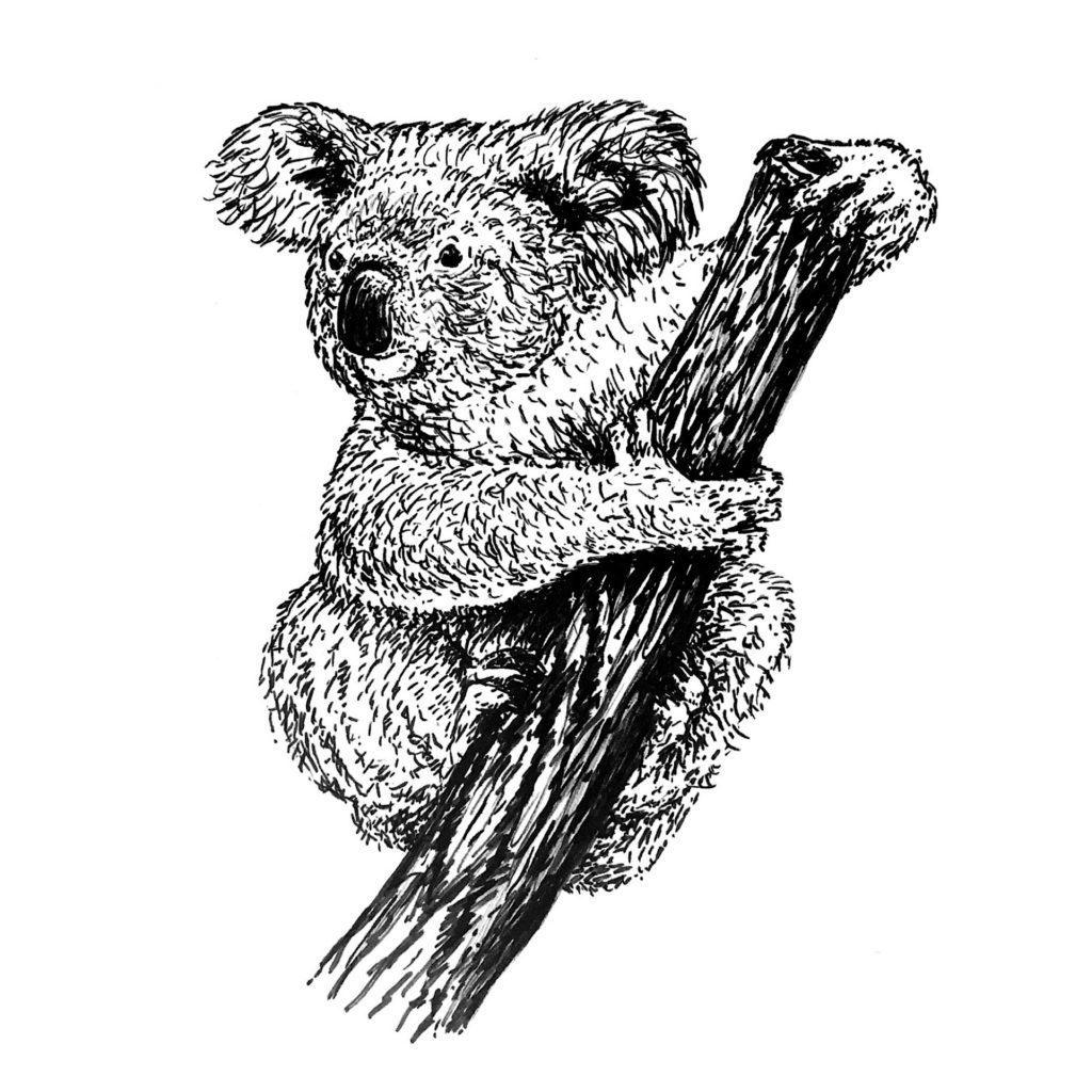 Koala white